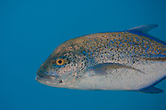 Caranx melampygus (Bluefin Trevally)