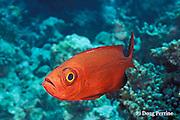 crescent-tail bigeye or goggleye, Priacanthus hamrur, Helengeli, Maldives ( Indian Ocean )