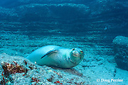 male Hawaiian monk seal, Monachus schauinslandi ( critically endangered endemic species ), Lehua Rock, near Niihau, off Kauai, Hawaii ( Pacific Ocean )