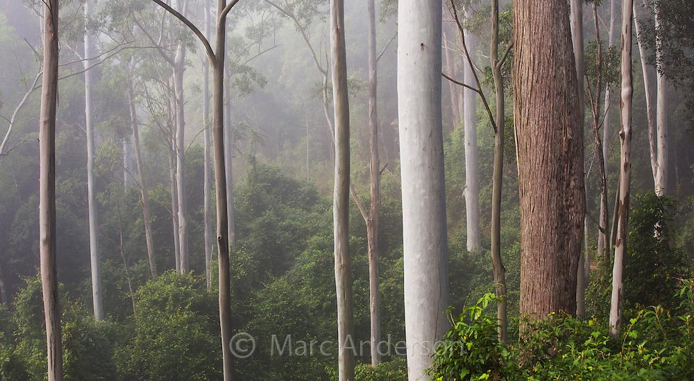 Tall moist eucalypt forest in early morning mist, Watagans National Park, near the Central Coast of NSW, Australia