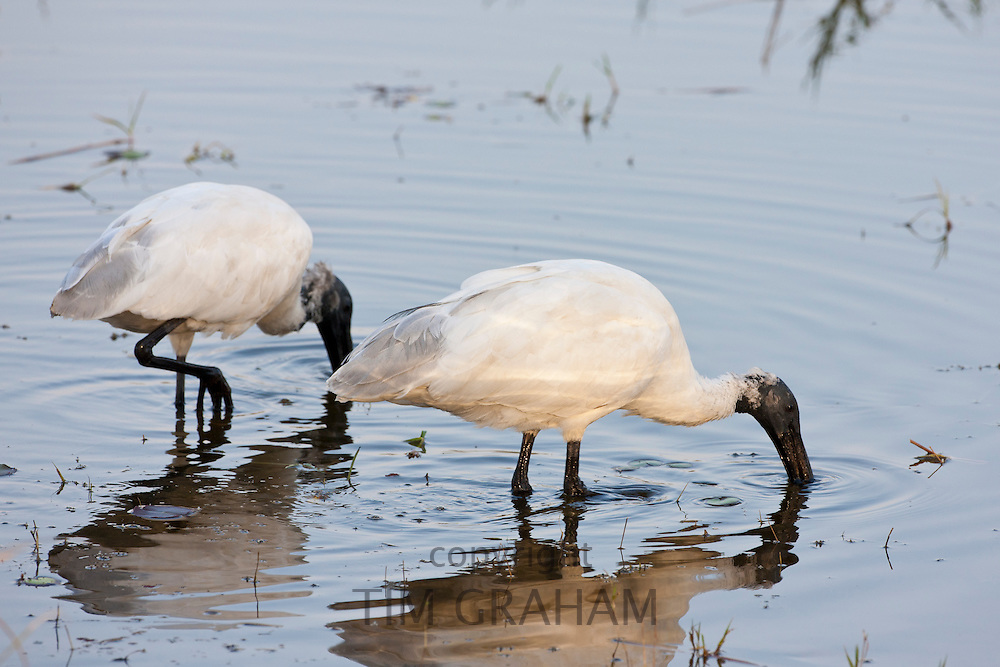 Black-Headed Ibis, Threskiornis melanocephalus, pair feeding in Ranthambhore National Park, Rajasthan, Northern India