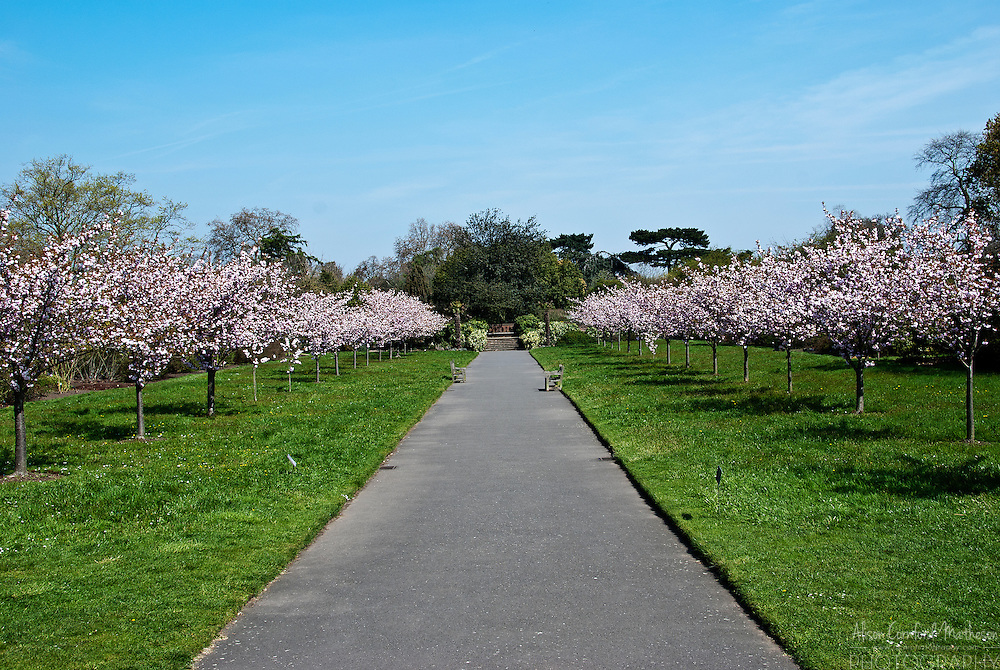 Cherry trees in blossom line a path at the Royal Botanic Gardens of Kew in London, England.