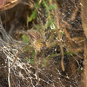 Wolf Spider (Hippasa holmerae) at its web in the Huai Kha Khaeng Wildlife Sanctuary in Thailand.
