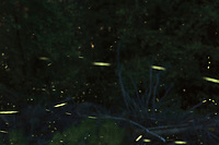 Firefly Trails. Composite of 600 images taken with a D4 camera and 200 mm f/2 VR lens (ISO 800, 200 mm, f/8, 30 sec). Raw images processed with Capture One Pro 8 and Photoshop CC. The images were combined using in Photoshop using Scripts/Statistics/Maximum.