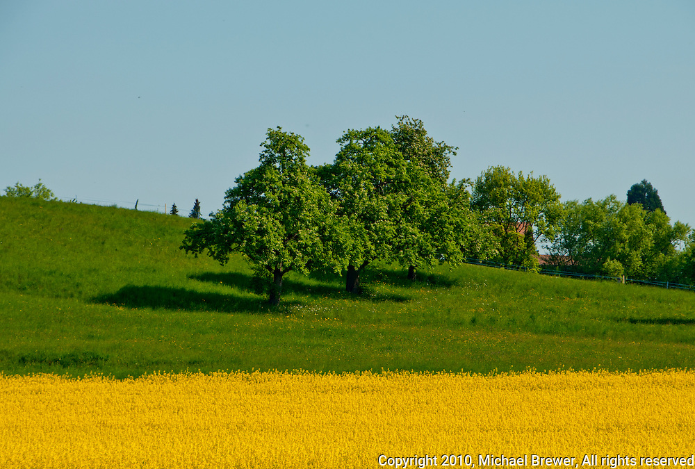 Yellow field of rapeseed flowers with a green hillside and fruit trees in Zufikon, Aargau, Switzerland.