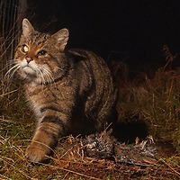 Sottish wildcat on the West coast of Scotland. One of the 400 or so remaining.