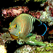 Blacktail Angelfish inhabit reefs. Picture taken Indonesia.
