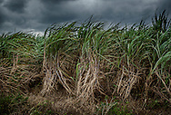 Sugar cane blows buffeted by the wind in Okinawa, Japan.  Sugar cane, introduced in the early 17th century is emblematic to Japanese of Okinawa agriculture, where lack of rivers, limited rain and porous limestone soil makes wet paddy rice cultivation difficult.