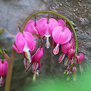 Lamprocapnos spectabilis , commonly known as Bleeding Heart. Photographed in Rose Valley Pennsylvania