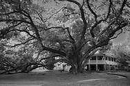The Seven Sisters Oak in Mandeville, Louisiana is the largest certified southern live oak tree. It is the National Champion on the National Register of Big Trees and the Champion Oak of Louisiana.
