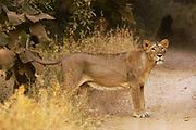 Asiatic Lion (Panthera leo persica) lioness at edge of dirt road, Gir National Park, Gujarat, India