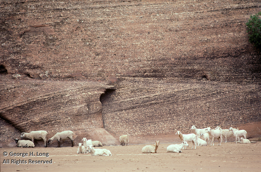 sheep and goats on dry riverbed in Canyon de Chelly National Monument, Arizona