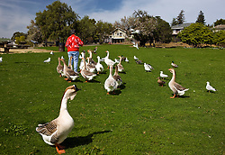 A woman feeds ducks and geese in a park, Benicia, California, United States of America