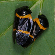 Pair of Cercopidae sp. froghoppers mating in Kaeng Krachan National Park, Thailand.