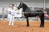 13. FRIESIAN MARES ALL AGES