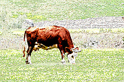 Digitally enhanced image of a Tyrolean Brown Cow without horns grazing in a mountain pasture, Stubai Valley, Tyrol, Austria