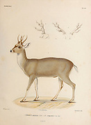 The taruca (Hippocamelus antisensis [Here as Cerous antisensis]), or north Andean deer, is a species of deer native to South America. Hand coloured sketched From the book 'Voyage dans l'Amérique Méridionale' [Journey to South America: (Brazil, the eastern republic of Uruguay, the Argentine Republic, Patagonia, the republic of Chile, the republic of Bolivia, the republic of Peru), executed during the years 1826 - 1833] 4th volume By: Orbigny, Alcide Dessalines d', d'Orbigny, 1802-1857; Montagne, Jean François Camille, 1784-1866; Martius, Karl Friedrich Philipp von, 1794-1868 Published Paris :Chez Pitois-Levrault et c.e ... ;1835-1847