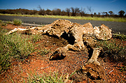The remains of a feral camel lies by the side of Lasseters Higway in the Northern Territory, Australia. The Australian government has committed $19 million to cull feral camels because they compete with sheep and cattle for food, crush vegetation and invade remote settlements in search of water. There are about one million feral camels throughout Australia, with numbers doubling every eight or nine years.