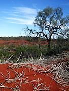 thorny devil (moloch horridus) Uluru, northern territory, australia