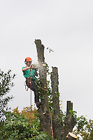 A tree surgeon attached to a tree  sawing into it