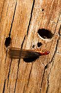 Pacific coast dampwood termite (Zootermopsis angusticollis) -alate<br /> CALIFORNIA: Mono Co.<br /> June Lake  37.77810 -119.07734  2323 m<br /> 13-17.June.2012  <br /> J.C. Abbott #2601 &amp; K.K. Abbott