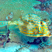 Scrawled Cowfish swim about a wide range of habitats from reefs to walls to sea grass beds in Tropical West Atlantic; picture taken Grand Cayman.
