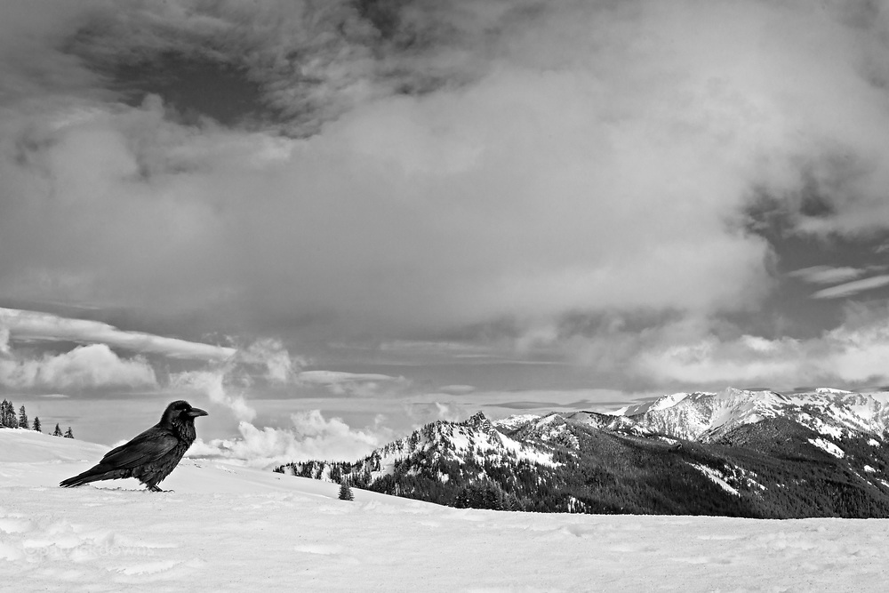 A raven on Hurricane Ridge, Olympic National Park, just before the arrival of spring. (also available in color)