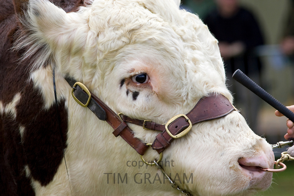 Hereford Bull at Three Counties Show agricultural event in Malvern, Worcestershire, England