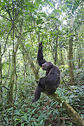 Chimpanzee<br /> Pan troglodytes<br /> Large male pant hooting<br /> Tropical forest, Western Uganda