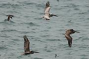 USA, Oregon, Newport, Yaquina Head, Brown Pelicans (Pelecanus occidentalis) in flight