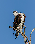 Osprey pauses from preening, visually checking surroundings with head at an unusual angle, giving away long flexible neck, © 2015 David A. Ponton