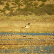 A super cruise just above the surface - a Sandhill Crane departs he main feeding area to rejoin the family.