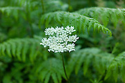 Cow parsley wildflower, Anthriscus Sylvestris, among ferns in The Cotswolds, Oxfordshire, UK