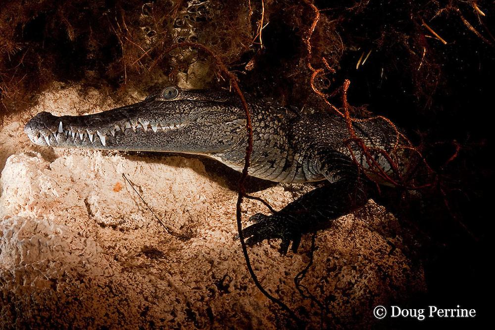 Morelet's crocodile, Central American crocodile, or Belize crocodile, Crocodylus moreletii, hiding under ledge in cenote, or freshwater spring, near Tulum, Yucatan Peninsula, Mexico