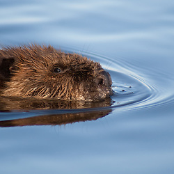 A beaver floats across a calm Colorado lake.