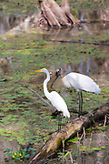 Great Egret and rare Wood Stork, Mycteria americana, standing together in swamp in the Florida Everglades, USA