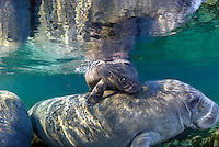 Florida manatee, Trichechus manatus latirostris, a subspecies of the West Indian manatee, endangered. February 29, 2008, rare series of the documented first day of a newborn male manatee calf that takes place out front of Three Sisters in the shallow waters in front of the manatee sanctuary. The rare event begins about an hour after sunrise. No other people, besides myself, came for almost an hour so this depicts natural manatee behaviors. It was an unusually cold, late winter morning. The newborn male calf is on its mother's back as she swims near me, apparently to block other curious manatee from the infant. Horizontal orientation with mixing blue, aqua and green waters, lit by sun rays. Three Sisters Springs, Crystal River National Wildlife Refuge, Kings Bay, Crystal River, Citrus County, Florida USA. License on Getty Images http://www.gettyimages.com/Search/Search.aspx?assettype=image&family=creative&artist=Carol+Grant