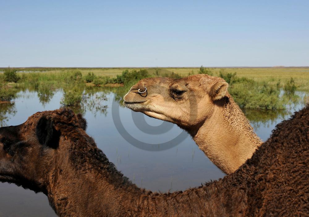 24/09/09 - MERZOUGA - PROVINCE D ERRACHIDIA - MAROC - Dromadaire dans le sud est Marocain - Photo Jerome CHABANNE