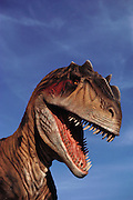 The head of robotic Allosaurus, part of a collection of robotic dinosaurs made by the California-based company Dinamation International. The dinosaurs are sent out in traveling displays to museums around the world. The dinosaur's robotic metal skeleton is covered by rigid fiberglass plates, over which is laid a flexible skin of urethane foam. The plates and skin are sculpted and painted to make the dinosaurs appear as realistic as possible. The creature's joints are operated by compressed air and the movements controlled by computer.