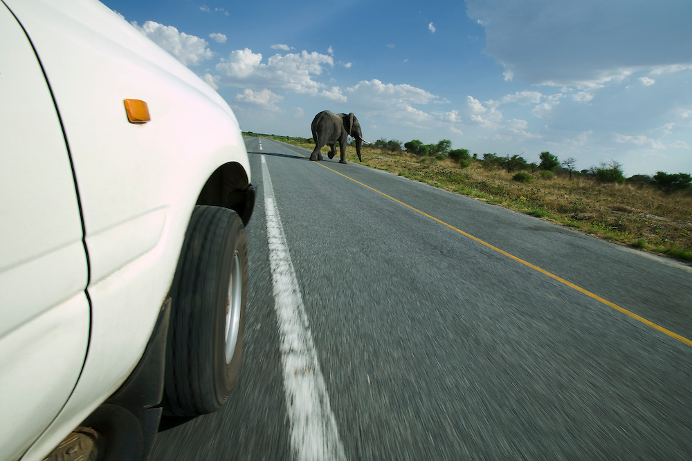 Africa, Botswana, Kasane, Elephant (Loxodonta africana) walks across highway in front of Toyota Land Cruiser driving down straight stretch of highway