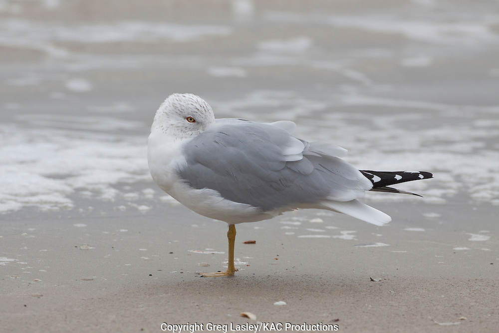 Ring-billed Gull<br /> Larus delawarensis<br /> adult<br /> Mustang Island,<br /> Nueces Co., Texas<br /> 19 February 2010
