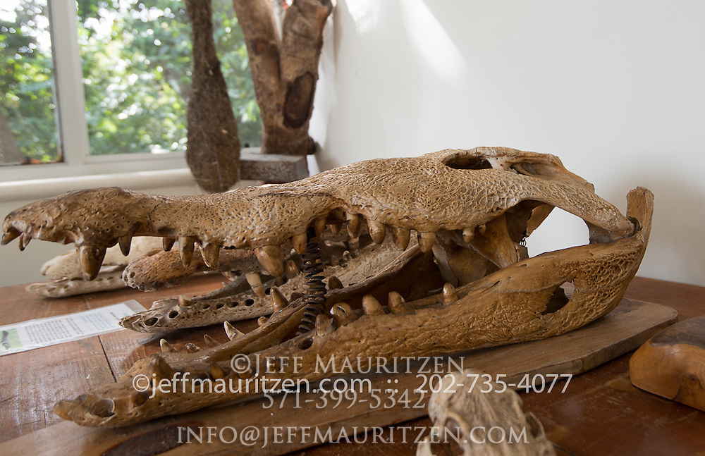A crocodile skull on dispaly at the Smithsonian Tropical Research Institute on Barro Colarado Island in Panama.