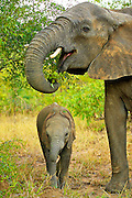 A baby African Elephant stands in close contact to its mother for safety as she eats.