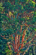 Arbutus (Pacific Madrone) (Arbutus menzeisii) tree. Canada's only native broad-leafed evergreen tree., Saltspring Island (Gulf Islands), British Columbia, Canada