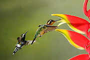 Green Thorntail - (Discosura conversii, Purple-throated Mountaingem - Lampornis calolaemus