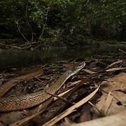 Triangle Keelback (Xenochrophis trianguligerus) adult in Namtok Raman forest park, Thailand