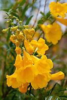 Yellow Bells or Yellow Trumphet, Big Bend National Park, Texas