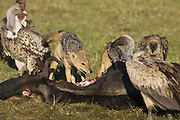 Black-backed Jackal<br /> Canis mesomelas<br /> Facing off vultures at wildebeest kill<br /> Masai Mara Triangle, Kenya