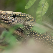 Clouded Monitor Lizard (Varanus nebulosus) head shot in Kaeng Krachan national park, Thailand