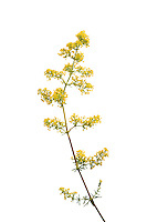 IFTE-NB-007663; Niall Benvie; Lady's bedstraw; Galium; verum; Europe; Austria; Tirol; Fliesser Sonnenhänge; vegetation flowering plant; vertical; high key; yellow white; wild; meadow grassland upland; 2008; July; summer; strobe backlight; Wild Wonders of Europe Naturpark Kaunergrat